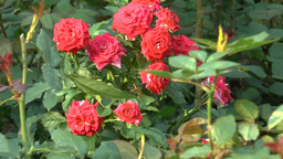 UK Rose Plants With Full-bloomed Red Roses.(ROSE-- stock footage