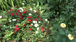 Different Types And Colors Of UK Roses In Full Blo stock footage