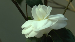 Close-up View Of A White Color UK Rose.(ROSE--113) stock footage