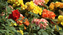 UK Red Rose Among Other Types Of Flowers.(ROSE--12 stock footage