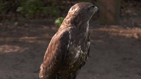 common buzzard (buteo buteo) being on the prowl Footage