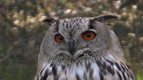 eagle owl (bubo bubo) closeup Footage
