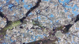 Cool Blue White Pink Spring Blossom stock footage