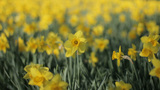 Yellow Trumpet Narcissus Daffodils Stands Out From stock footage