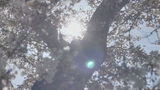 Spring Blossom Tree Sunshine Natural Lens Flare stock footage