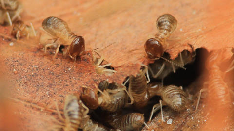 termites eating dried leaf Footage