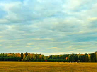 Cows graze in the autumn. Time Lapse. 320x240 Footage