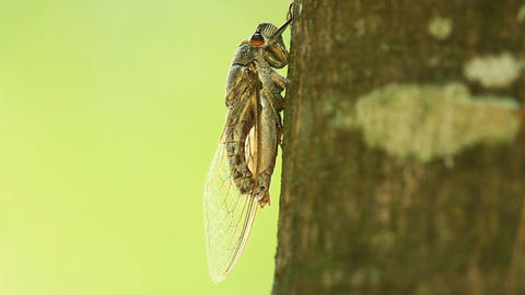 Cicada sucking sap Live Action