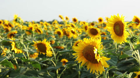 Morning Sunflowers stock footage