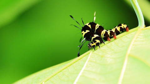Roseapple Caterpillar stock footage
