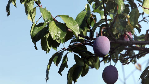 Ripe plums on a branch Footage