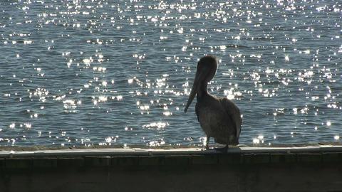 Pelican HD Footage