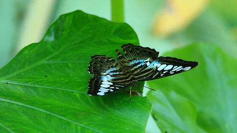 Parthenos Sylvia (Clipper Butterfly) On A Green Le stock footage
