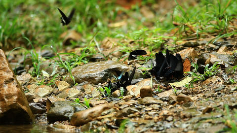 Butterflies group on the ground Footage
