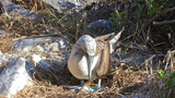 Blue-footed Booby Sitting On An Egg On North Seymo stock footage
