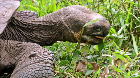 Close up of an endemic Galapagos Giant Tortoise ea Live Action