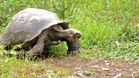 Galapagos Giant Tortoise entering the scene at Ran Live Action