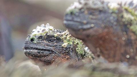 Close up of marine iguana's eye on Punta Suarez on Live Action