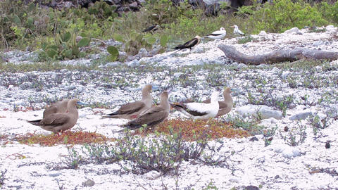 Red-footed boobies gathering nesting material as a Live Action