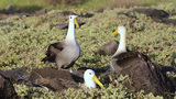 A pair of Waved albatross bill-circling during a c Footage