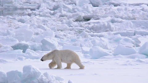 Polar bear walking on sea ice near Torelleneset on Footage