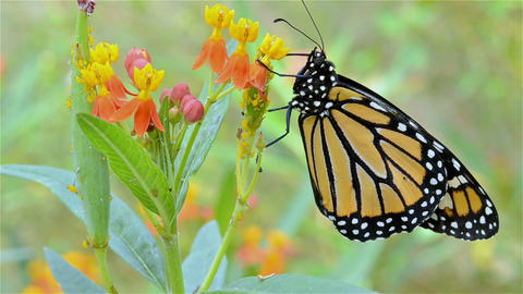 Monarch butterfly, Danaus plexippus stretching its Footage