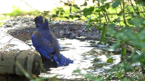 Western bluebird washing in a bird bath in Oak Vie Footage