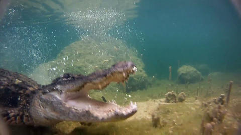 An alligator thrashes underwater and catches a fis Footage