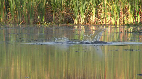 An alligator emerges from a swamp and dives Footage
