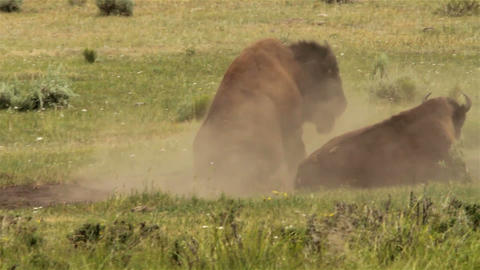 Bison roll around in the dirt in Yellowstone Natio Live Action