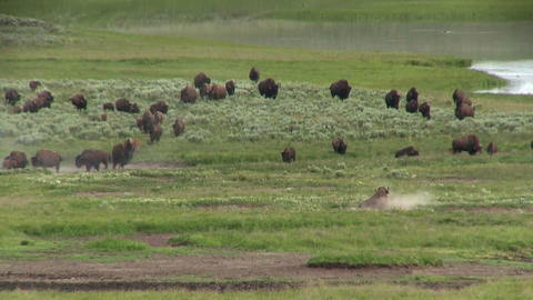 Buffalo graze in the distance in Yellowstone Natio Footage
