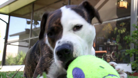 A Dog Plays With A Squeaky Toy stock footage