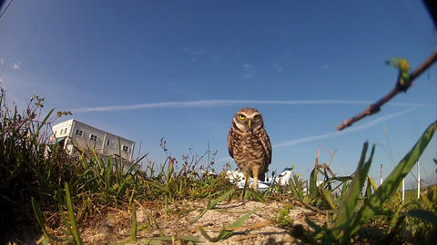 A burrowing owl guards it's nest Footage