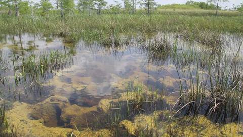 A nice pan up of the Everglades swamps in Florida Footage