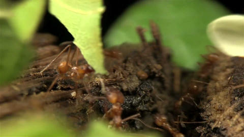 Leafcutter ants move leaves across a forest floor Footage
