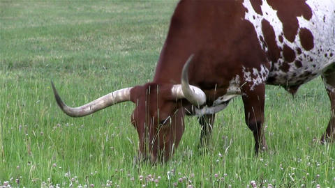 A Texas longhorn cow grazes in a field Footage