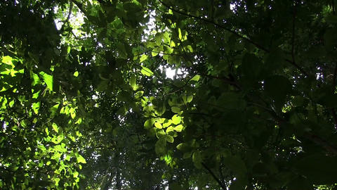 A low angle looking up at the forest canopy with s Footage