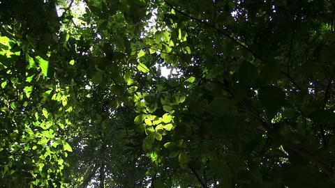 A low angle looking up at the forest canopy with s Stock Video Footage