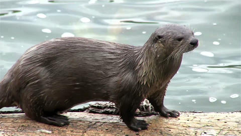 A river otter walks along a branch in a river Footage