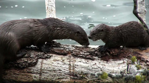 Two otters play on a branch Footage
