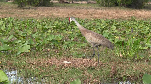 A Sandhill Crane Calls Out stock footage