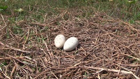 Sandhill crane eggs in a nest Footage