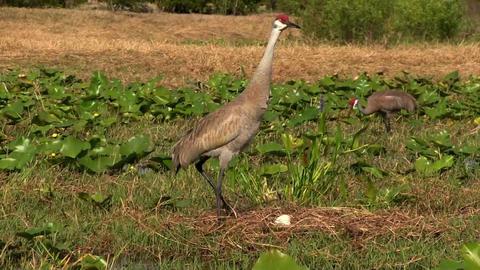 A sandhill crane walks through fields Footage