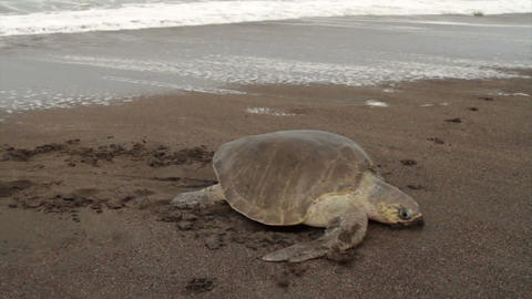 A sea turtle struggles up the beach to lay eggs in Footage