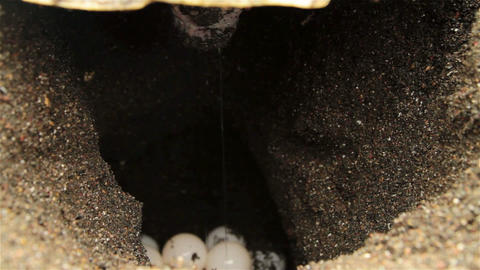 Close up of sea turtle laying eggs in sand Footage