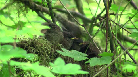 Baby wrens wait in their nest for their mother to  Footage