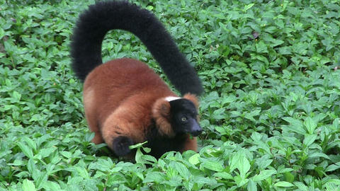 A beautiful red fronted lemur plays in green folia Footage