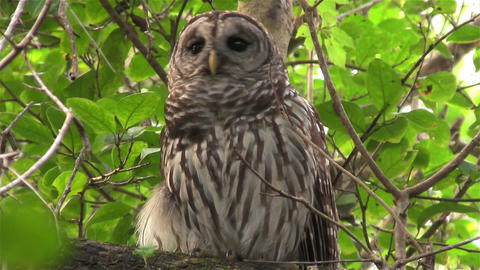 A barred owl calls out from a tree Footage