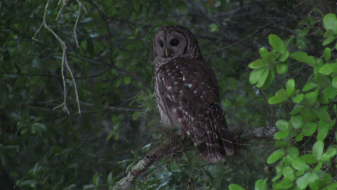 A barred owl looks around from his perch in a tree Footage