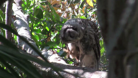 A barred owl preens and scratches himself from a p Footage